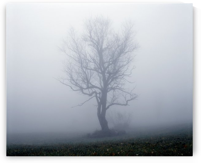Tree In Fog by PacificStock
