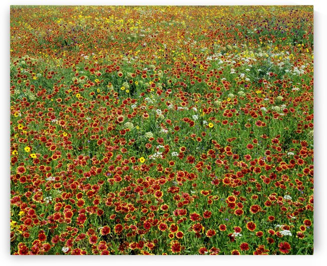 Field Of Wildflowers by PacificStock