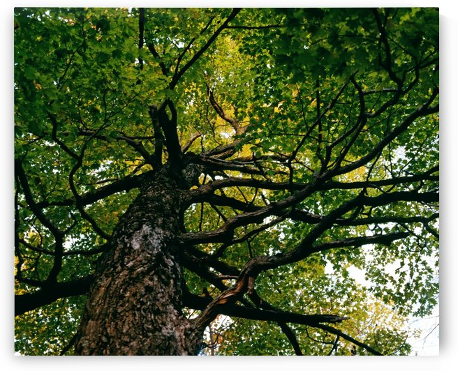 Tree, Low Angle View by PacificStock