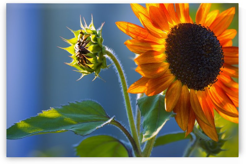 A Sunflower Blooming With Bud by PacificStock