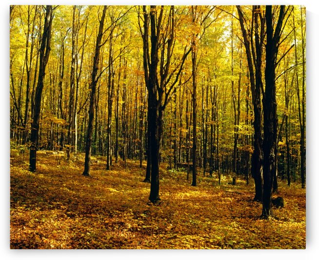 Forest In Autumn With Trees by PacificStock