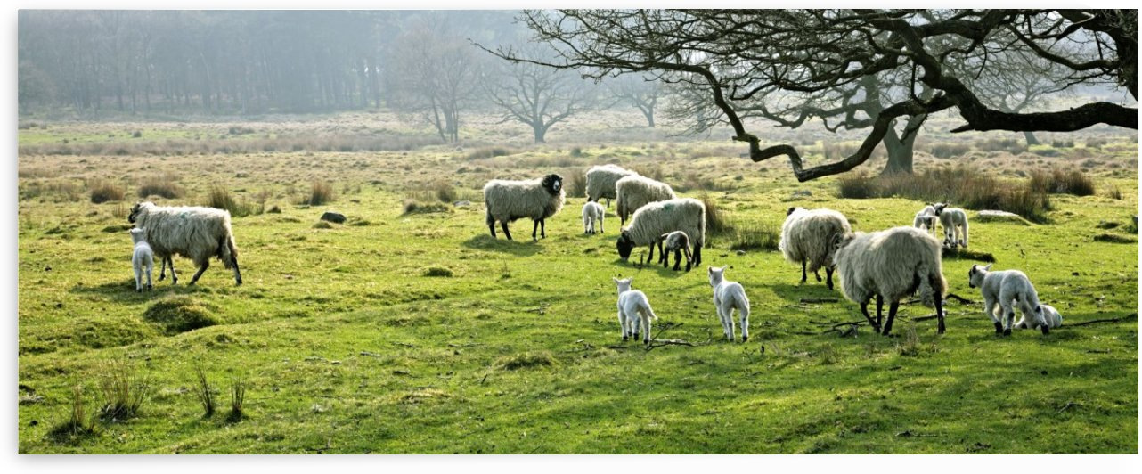Sheep Grazing In A Pasture, Derbyshire, England by PacificStock