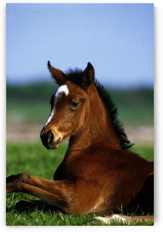 Thoroughbred Foal, Co Kildare, Ireland by PacificStock
