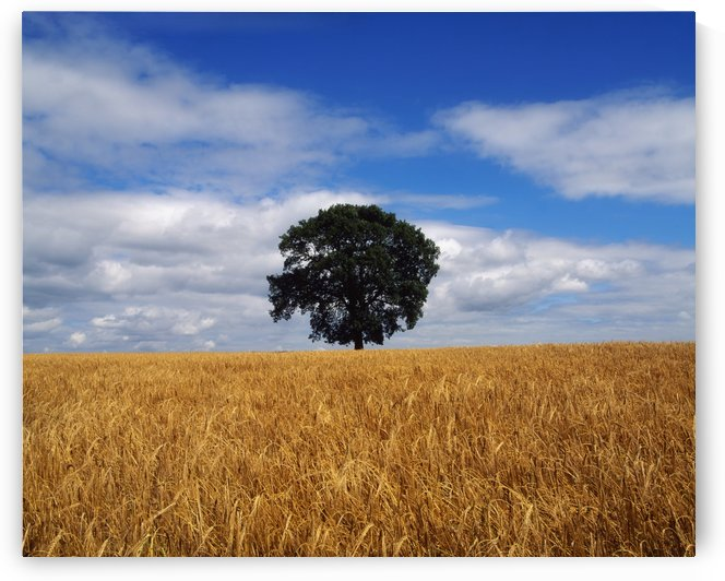 Ireland, Barley Field With Oak Tree by PacificStock