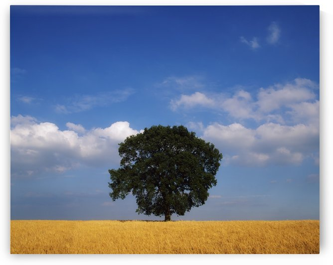 Oak Tree In A Barley Field; Ireland by PacificStock