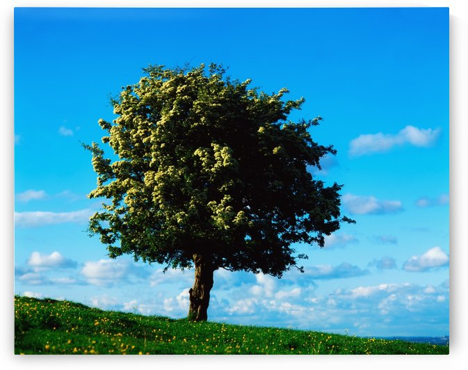 White Hawthorn Tree by PacificStock