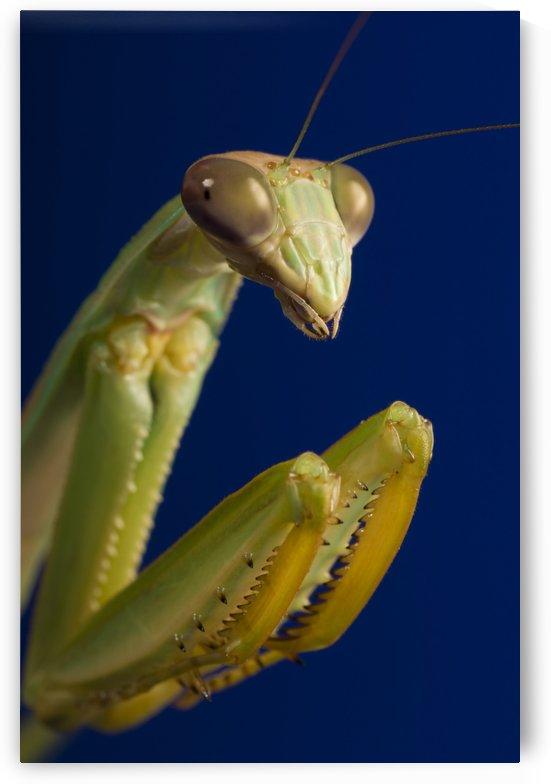 Closeup Of Praying Mantis by PacificStock