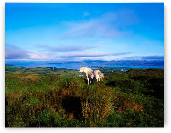 Wild Horse, Bantry Bay, Co Kerry, Ireland by PacificStock