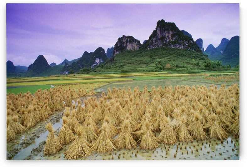 Rice, Yangshuo, Guangxi, China by PacificStock