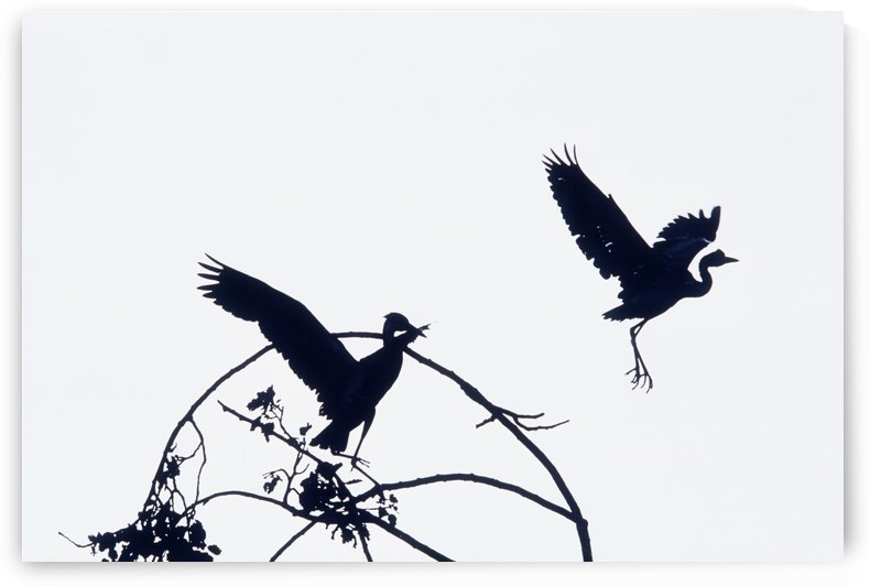 Herons In Flight by PacificStock