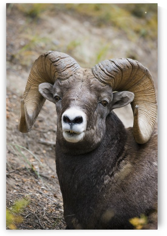 Rocky Mountain Bighorn Sheep by PacificStock