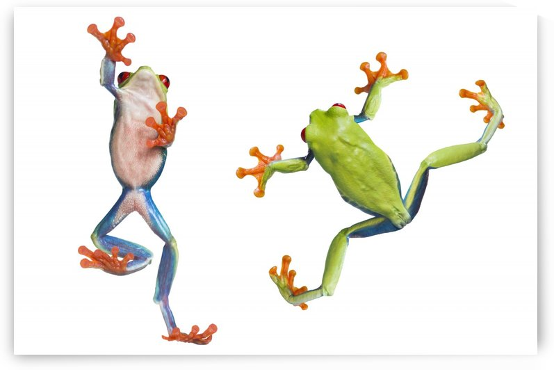 Two Red Eyed Tree Frogs by PacificStock