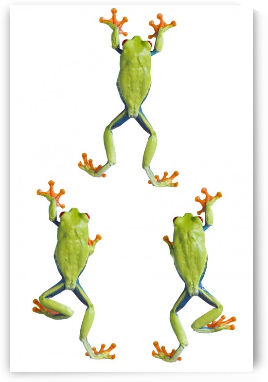 Three Red Eyed Tree Frogs Climbing by PacificStock