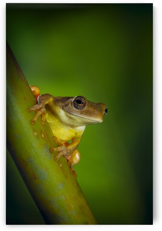 Swamp Frog On Reed by PacificStock