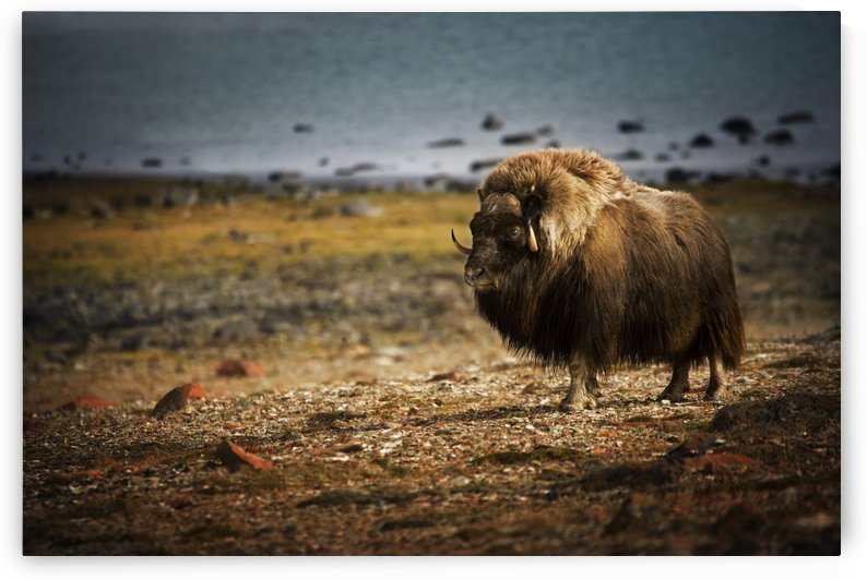 Muskox (Ovibos Moschatus)In The Northwest Territories by PacificStock