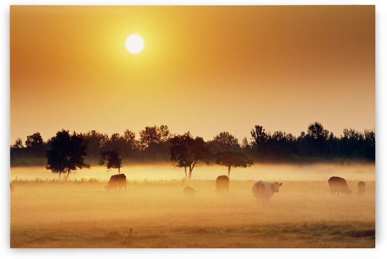 Cattle In Fog, Millet, Alberta, Canada by PacificStock