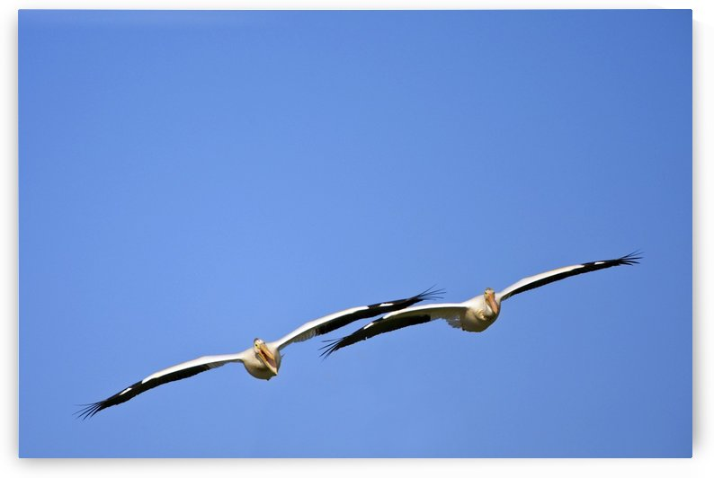 Two Pelicans In Flight by PacificStock
