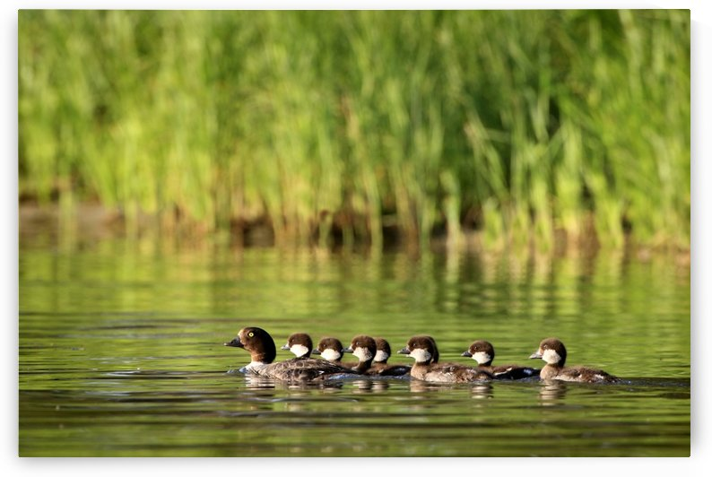 A Family Of Ducks Swimming by PacificStock