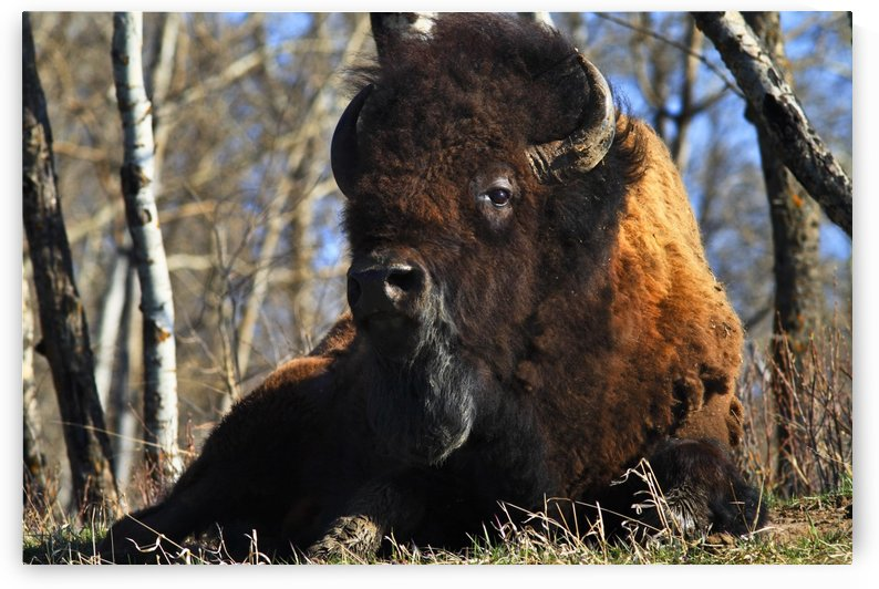 A Buffalo Resting by PacificStock