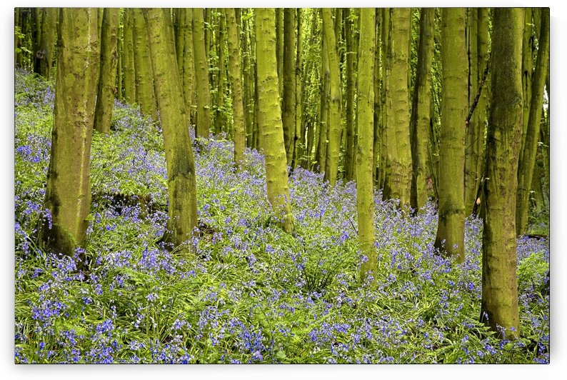 Bluebell Wood Impression by PacificStock