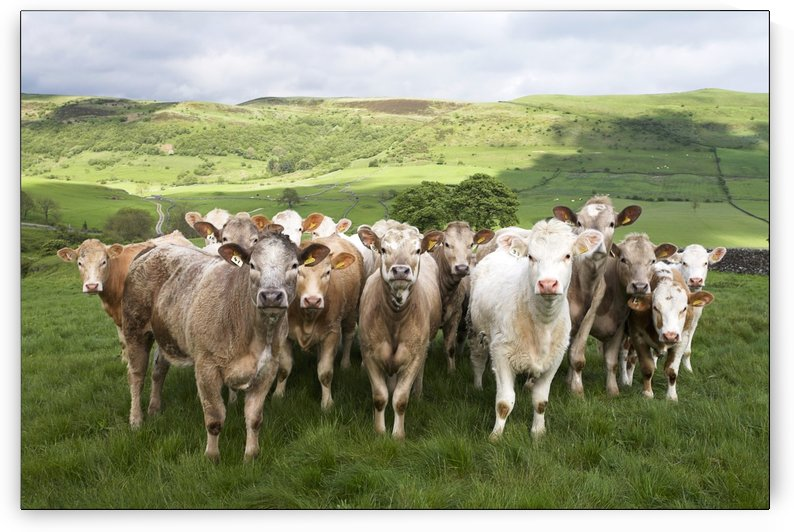 Dairy Cattle, Derbyshire, England by PacificStock