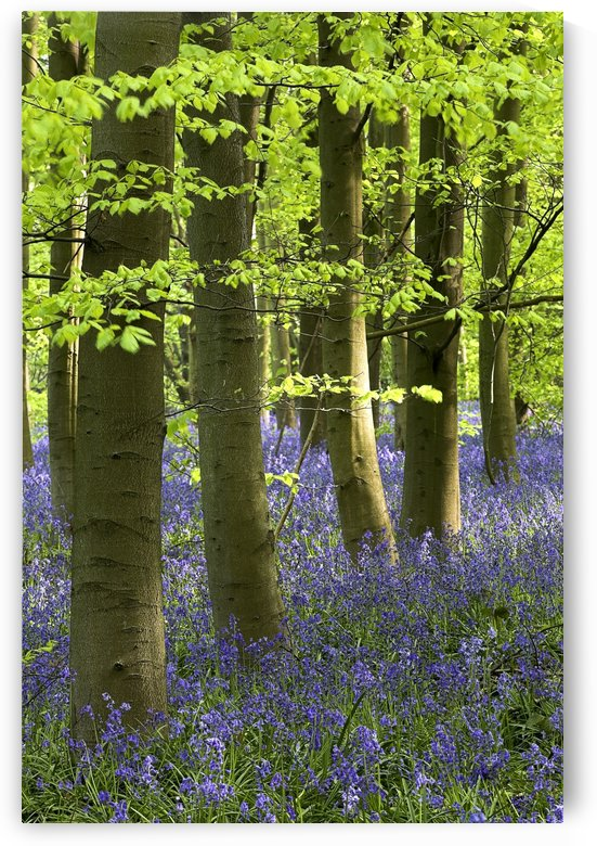 Bluebells In The Woods, Nottinghamshire, England by PacificStock