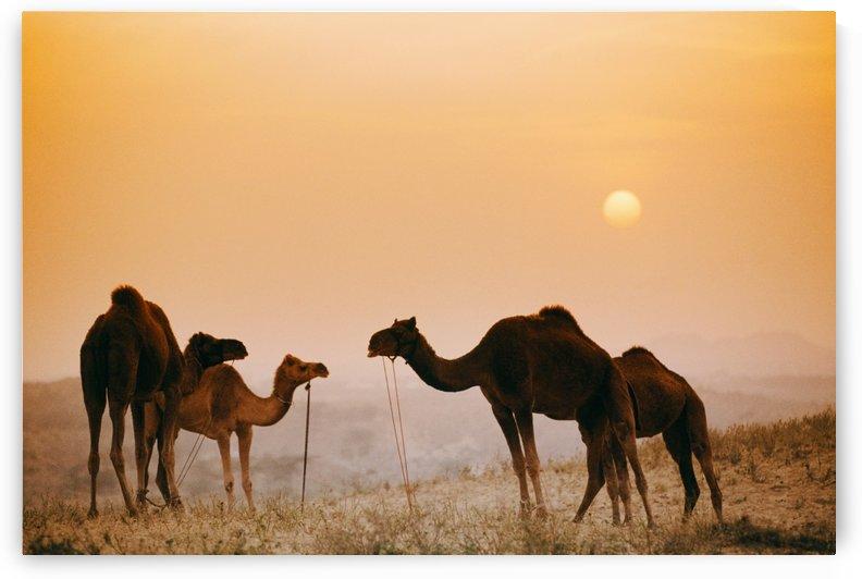 Camels At The Pushkar Camel Fair, India by PacificStock
