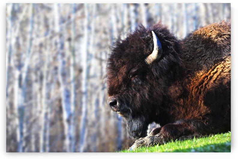 Bison by PacificStock