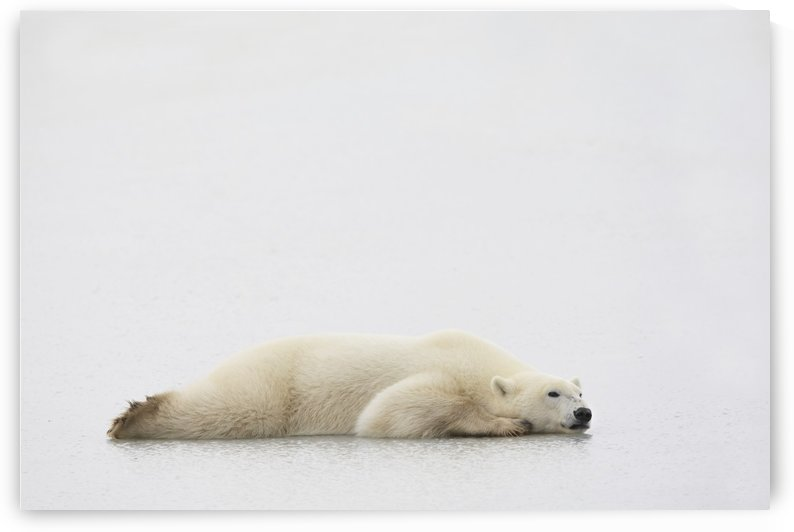 Polar Bear Laying Down by PacificStock