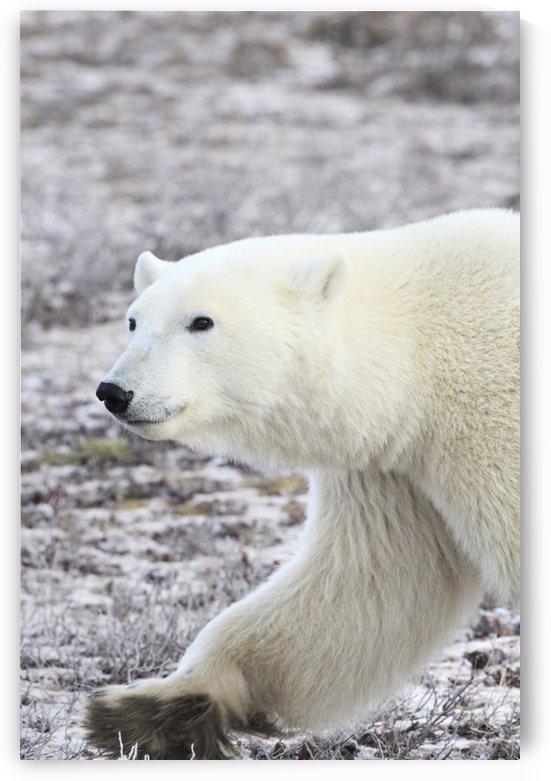 A Polar Bear by PacificStock