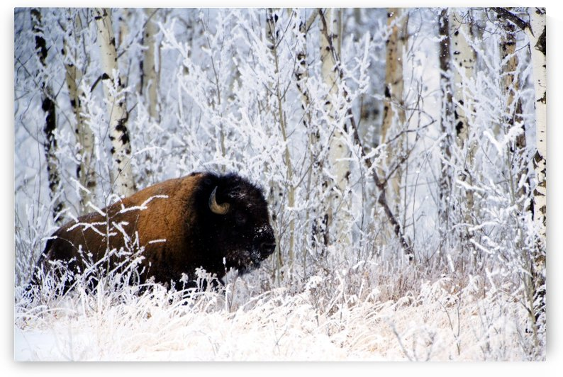 Buffalo In The Snow by PacificStock