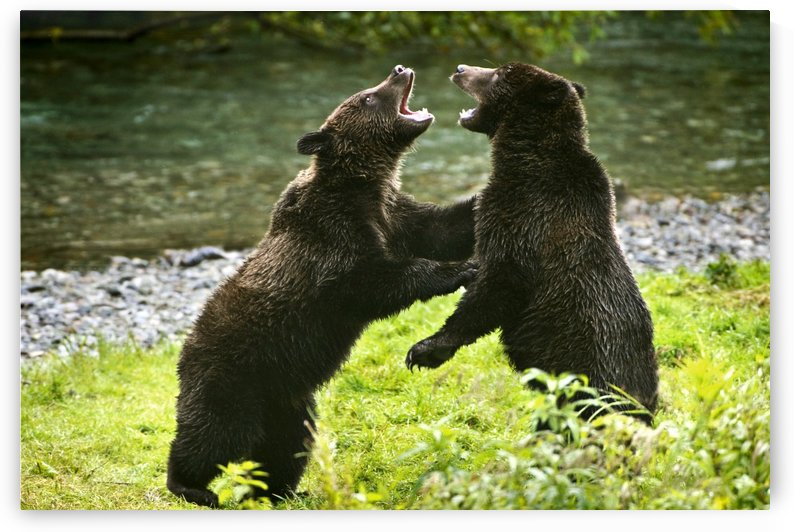 Two Grizzly Bears Fighting by PacificStock