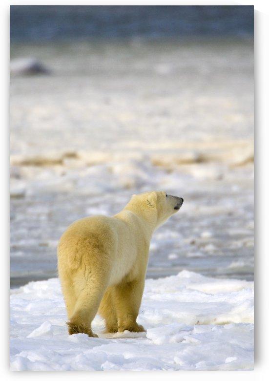 Polar Bear by PacificStock