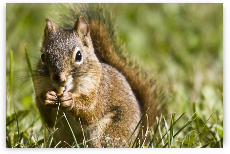 Squirrel Eating A Nut by PacificStock
