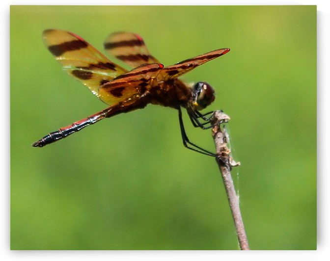 Dragonfly by G  Stevenson