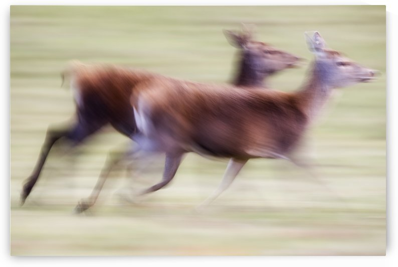 Running Deer by PacificStock