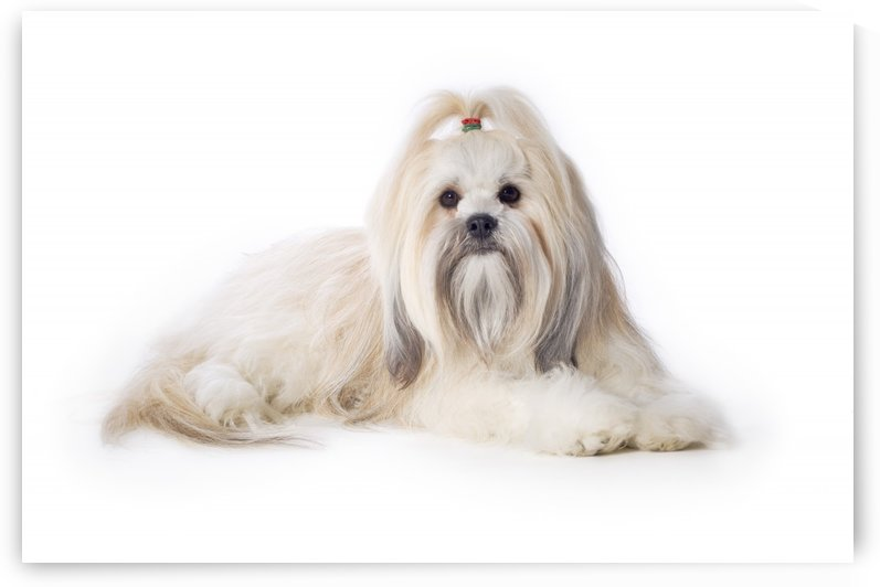 Lhasa Apso by PacificStock