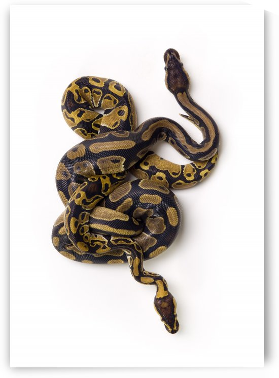 Two Ball Python Snakes Intertwined by PacificStock