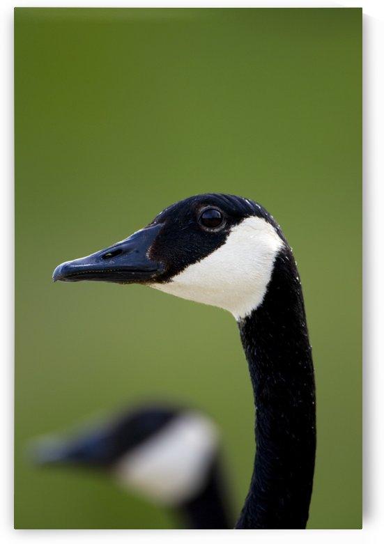 Canada Goose by PacificStock