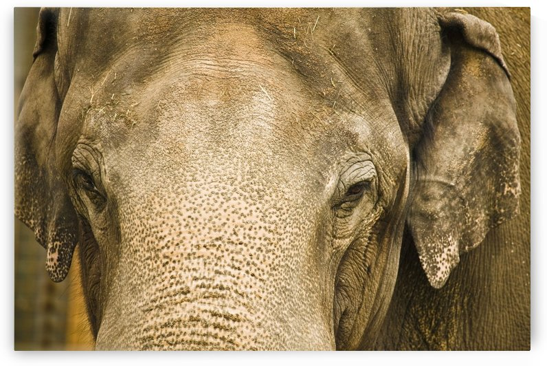 An Elephant's Face by PacificStock