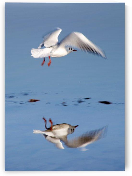 Bird Landing by PacificStock