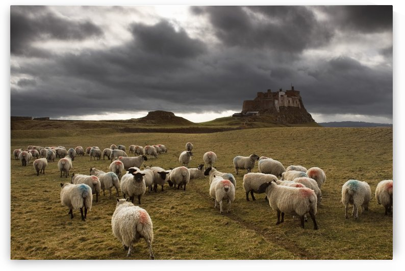 Sheep Grazing By Lindisfarne Castle, Holy Island, Berwick-Upon-Tweed, Northumberland, England, Eu by PacificStock