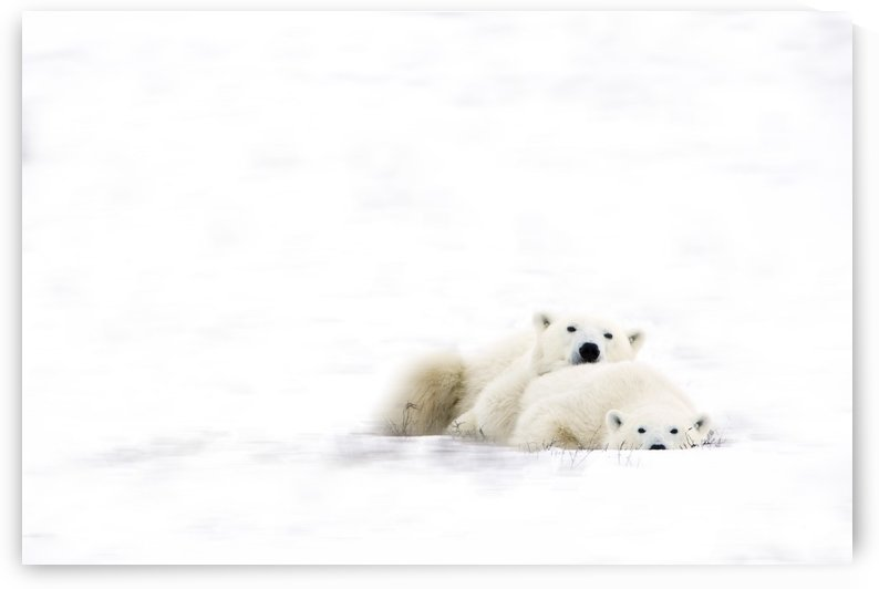 Two Polar Bears Snuggling by PacificStock