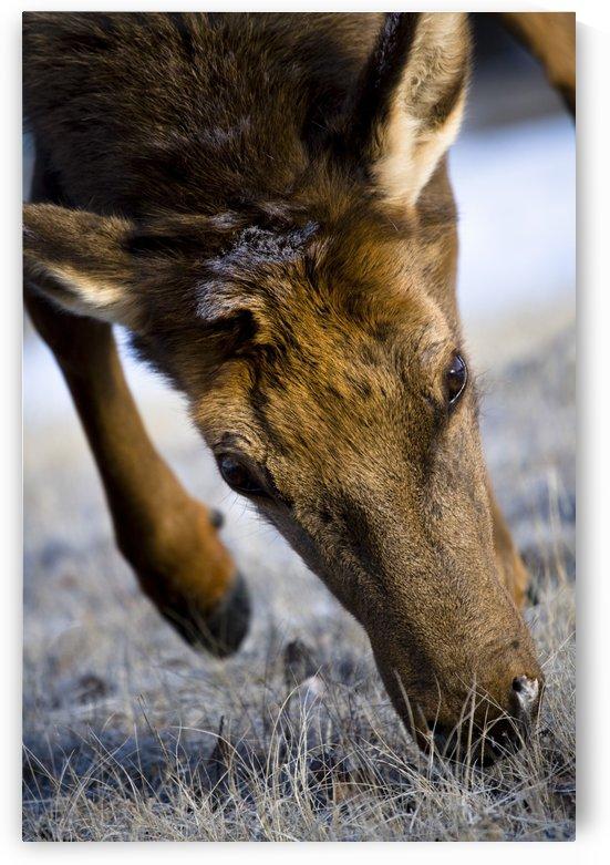 Elk (Cervus Canadensis) by PacificStock