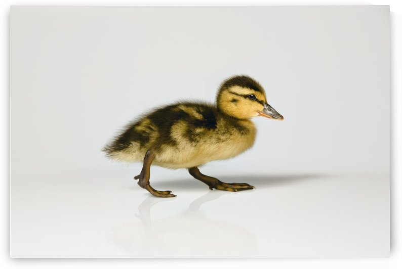 Duckling Walking by PacificStock