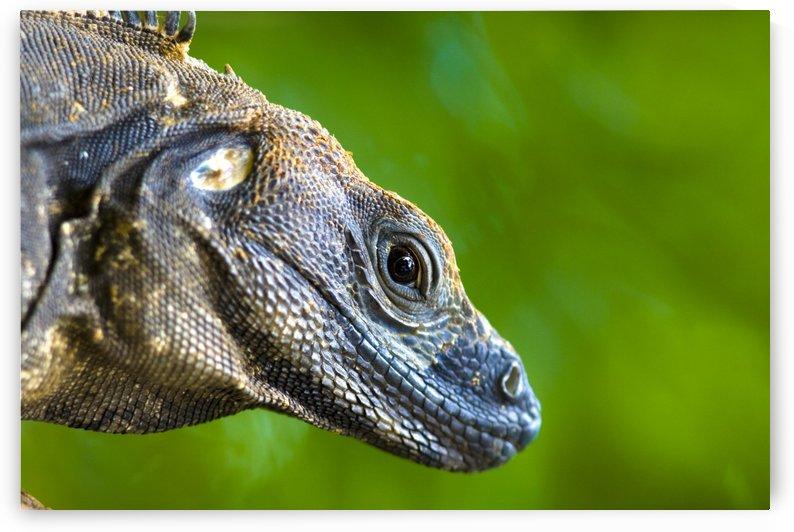 Lizard (Squamata) by PacificStock