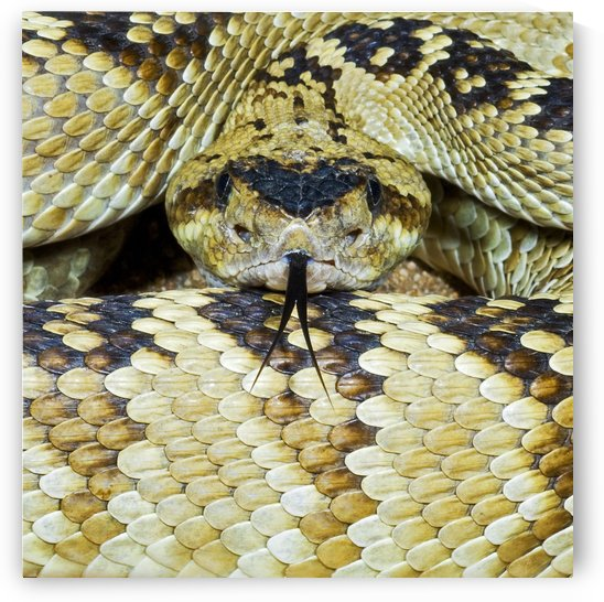 Northern Black-Tailed Rattlesnake by PacificStock