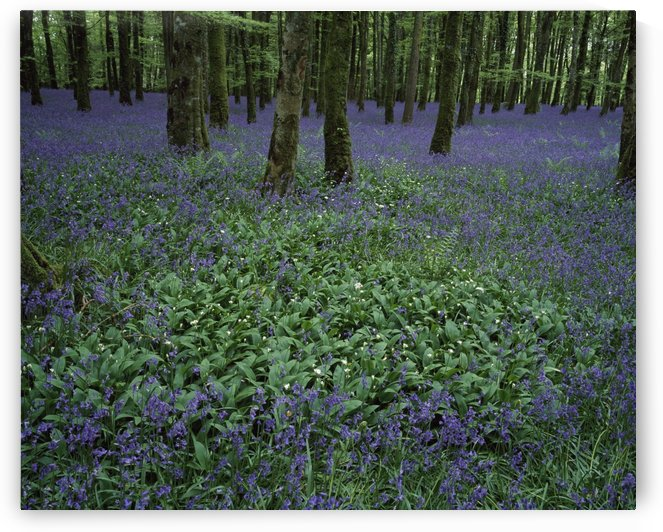 Ireland, Bluebells On A Forest Floor by PacificStock