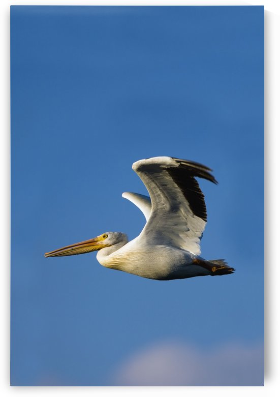 Flying Pelican by PacificStock