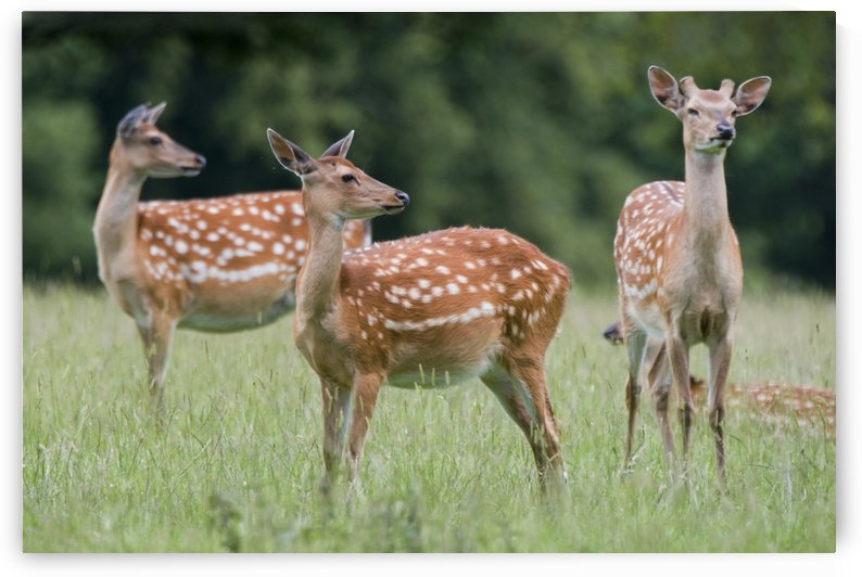 Spotted Deer, Harrogate, Yorkshire, England by PacificStock